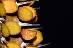 Alluaudia procera或者马达加斯加蜡烛木 免版税库存照片