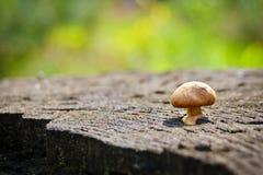 Allucinogeno del fungo Fotografie Stock Libere da Diritti
