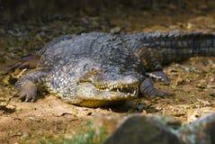 Allugator del coccodrillo Immagini Stock Libere da Diritti
