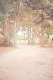 Allumez dans la forêt de pin, fond de forêt d'été Photo libre de droits
