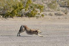 Allungamenti del coyote nel deserto Immagini Stock
