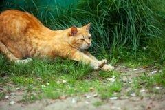 Allungamenti del gatto su erba Immagine Stock