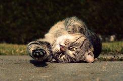 Allungamenti e riposo svegli del gatto Immagine Stock Libera da Diritti