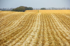 Allungamenti smussati del campo di grano all'orizzonte Immagini Stock Libere da Diritti