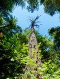Allungamenti soli dell'albero della sequoia fino al cielo Fotografia Stock Libera da Diritti