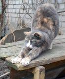 Allungamenti sonnolenti del gatto Immagine Stock