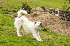 Allungamento bianco del cane Fotografia Stock