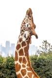 Allungamento capo della giraffa contro il cielo e l'orizzonte bianchi nuvolosi Fotografia Stock