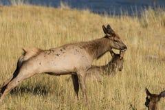 Allungamento degli alci della mucca Fotografia Stock Libera da Diritti