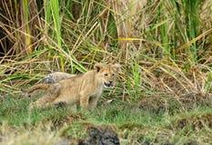 Allungamento dei cuccioli di leone Fotografia Stock Libera da Diritti
