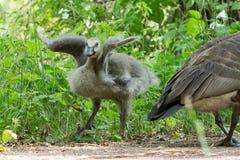 Allungamento del bambino Gosling Immagine Stock