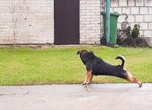 Allungamento del cane Immagine Stock