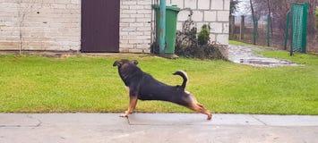 Allungamento del cane Fotografia Stock
