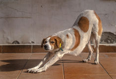 Allungamento del cane Fotografia Stock Libera da Diritti