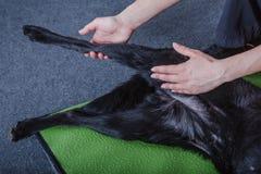Allungamento del cane Fotografie Stock Libere da Diritti
