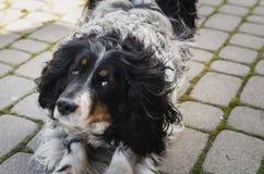 Allungamento del cane sulla pavimentazione che esamina gli occhi Immagini Stock