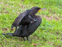Allungamento del cormorano Fotografia Stock Libera da Diritti