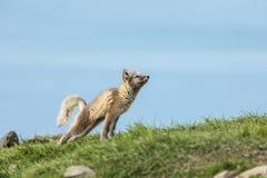 Allungamento del cucciolo della volpe artica Immagini Stock Libere da Diritti