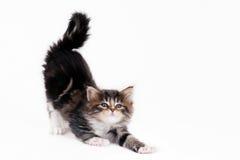 Allungamento del gattino fotografia stock