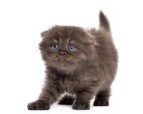 Allungamento del gattino del popolare dell'altopiano, guardante verso l'alto, isolato Immagine Stock Libera da Diritti