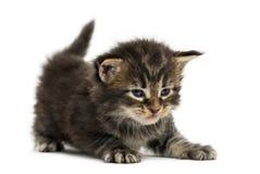 Allungamento del gattino del procione lavatore di Maine Immagini Stock Libere da Diritti