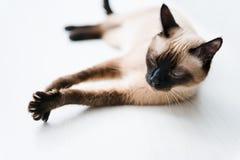 Allungamento del gatto Fotografia Stock Libera da Diritti
