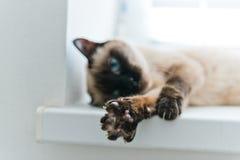 Allungamento del gatto Fotografie Stock Libere da Diritti