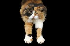 Allungamento del gatto Immagine Stock Libera da Diritti
