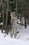 Allungamento del gatto selvatico Fotografia Stock