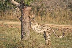 Allungamento del ghepardo Immagini Stock Libere da Diritti