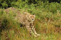 Allungamento del ghepardo Fotografie Stock