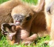 Allungamento del Gibbon del Lar del bambino Fotografia Stock Libera da Diritti