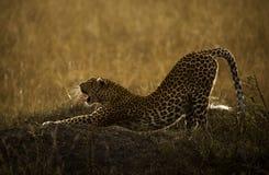 Allungamento del leopardo Fotografie Stock Libere da Diritti