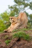 Allungamento del lioness Fotografia Stock Libera da Diritti
