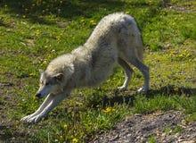 Allungamento del lupo Fotografia Stock Libera da Diritti