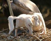 Allungamento del ` s del pellicano di due bambini Fotografie Stock Libere da Diritti