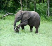 Allungamento dell'elefante Fotografie Stock