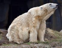 Allungamento dell'orso polare Immagini Stock Libere da Diritti