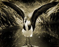 Allungamento dell'uccello Immagine Stock Libera da Diritti