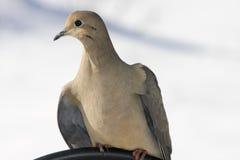 Allungamento della colomba di mattina Immagine Stock