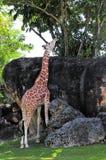 Allungamento della giraffa Fotografie Stock