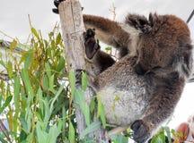 Allungamento della koala Immagine Stock Libera da Diritti