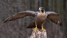 Allungamento della Peregrine Falcon Fotografia Stock Libera da Diritti