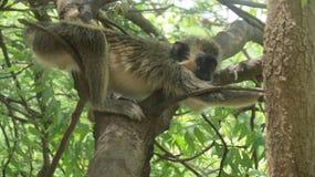Allungamento della scimmia Immagini Stock