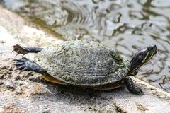 Allungamento della tartaruga Fotografie Stock