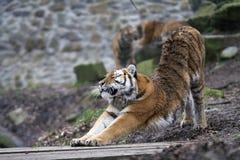 Allungamento della tigre Immagine Stock