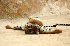 Allungamento della tigre Immagini Stock Libere da Diritti