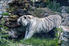 Allungamento della tigre di Bengala Fotografia Stock Libera da Diritti