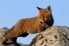 Allungamento della volpe rossa Fotografia Stock Libera da Diritti