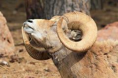 Allungamento delle pecore Bighorn Fotografia Stock